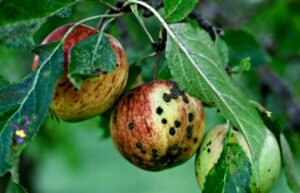 болезни яблонь парша