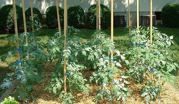 мульчирование помидоров соломой