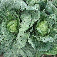 капустные вредители