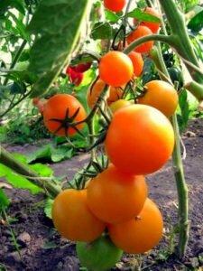 сорт мандаринка