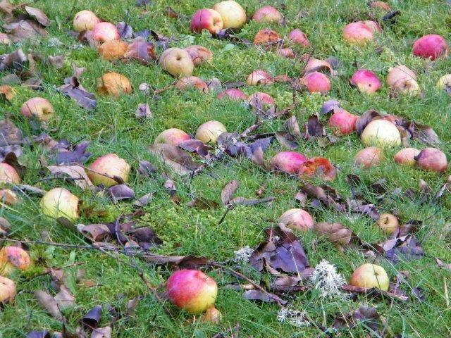 сбор падалиц яблони