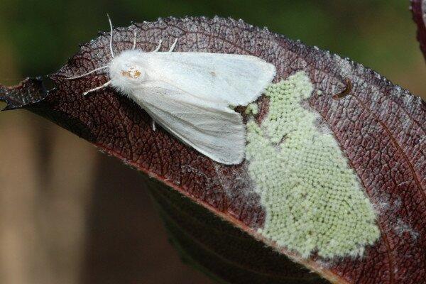 бабочки вредители