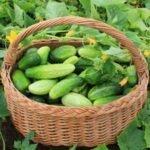 высокоурожайные сорта огурцов