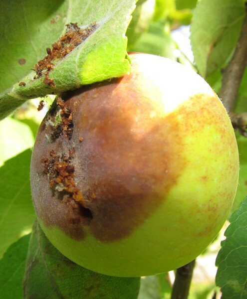 яблоко поврежденное плодожоркой