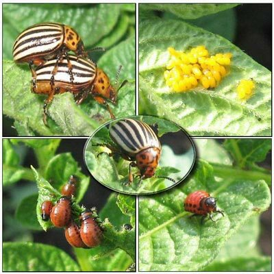 сбор колорадского жука