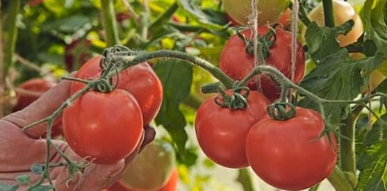 томаты любаша