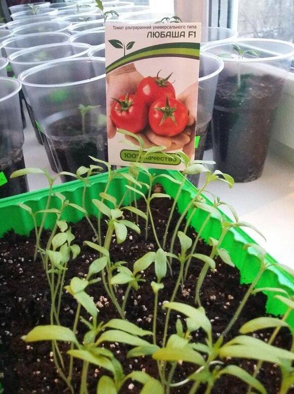 рассада томатов любаша