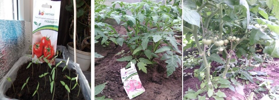 томаты любаша в грунте