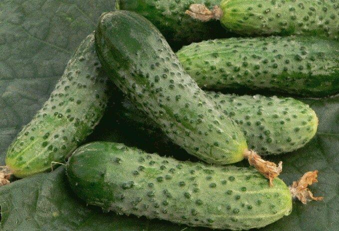 высокоурожайные сорта огурцов сорт амур F1