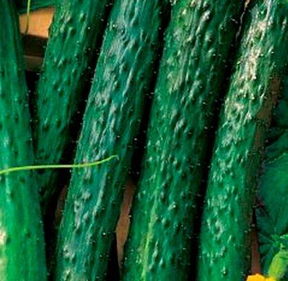 высокоурожайные сорта огурцов сорт аллигатор
