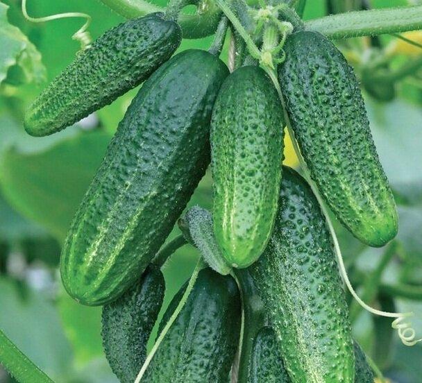 высокоурожайные сорта огурцов сорт коринна