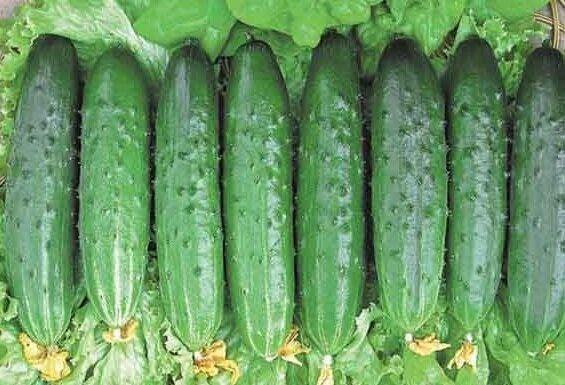 высокоурожайные сорта огурцов деликатесный