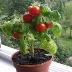 комнатные помидоры