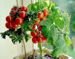 томаты тими тим