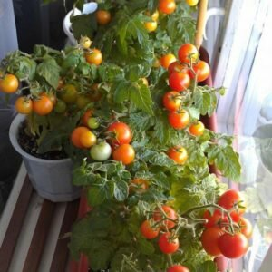 томаты балконное чудо