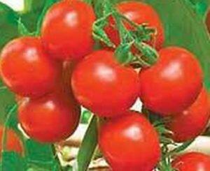 томаты горожанин F1