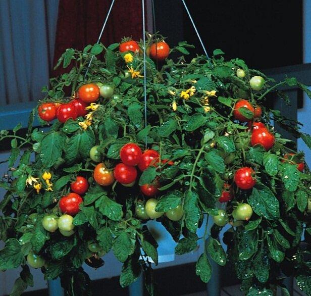 томаты тумблер