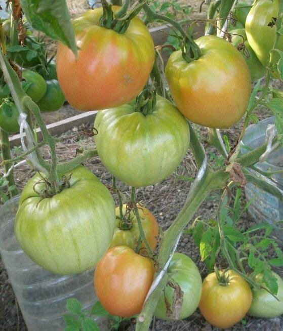Урожайные сорта помидоров сорт бочка меда