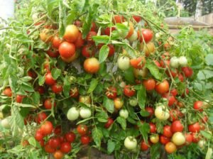 томаты талисман