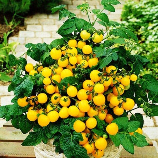 томаты оконный желтый