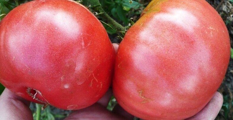 Урожайные сорта помидоров сорт исполин