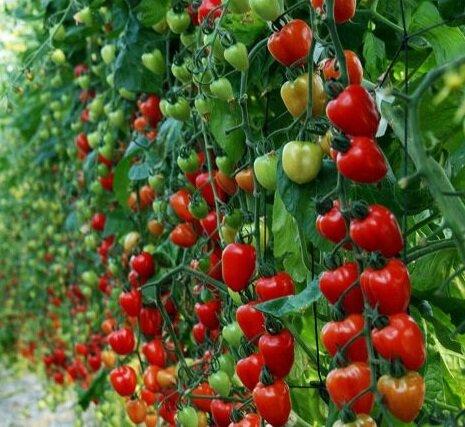 Урожайные сорта помидоров сорт клубничное дерево