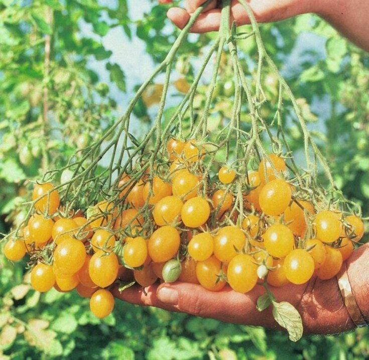 томаты медовая гроздь