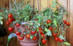 томаты пигмей