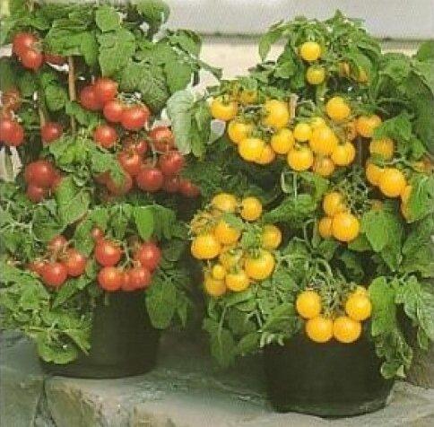 томаты микрон НК