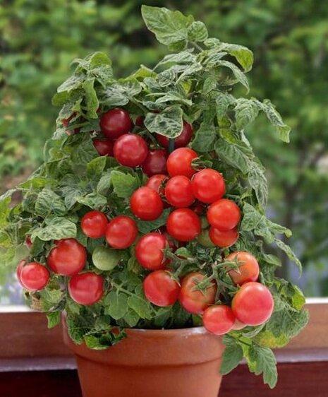 томаты бонсай