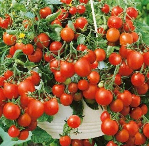 томаты комнатный сюрприз