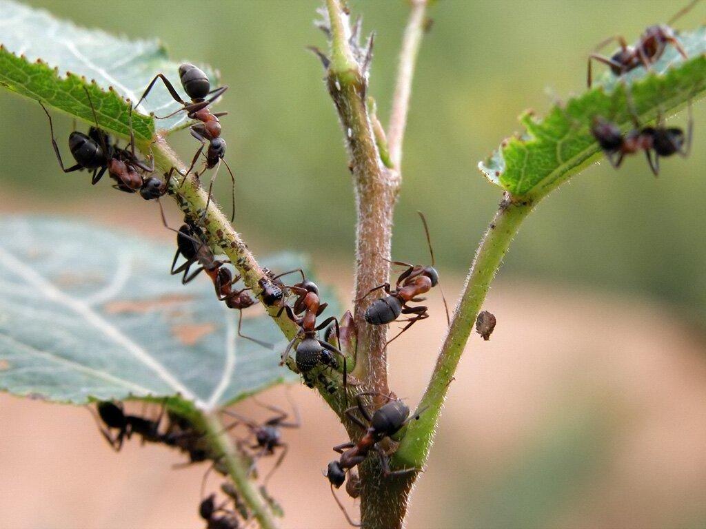 муравьи на садовых деревьях