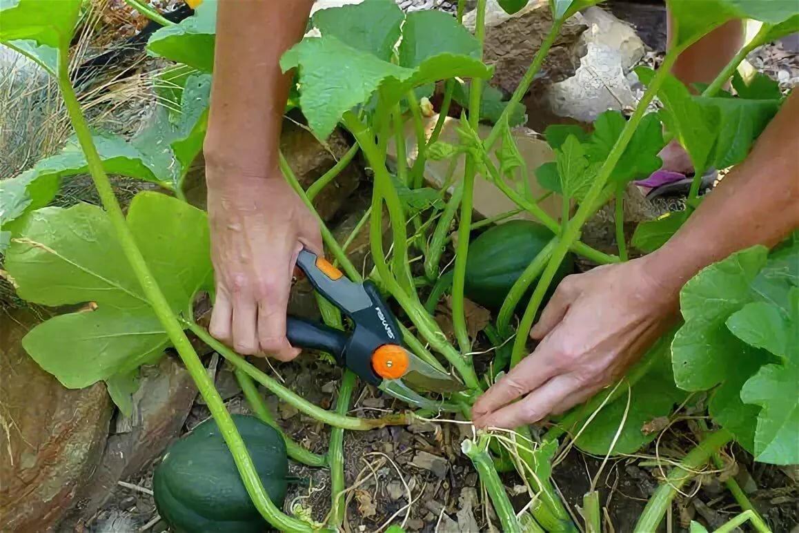Выращивание тыквы и формирование куста