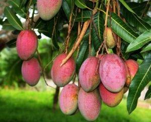 Плоды манго