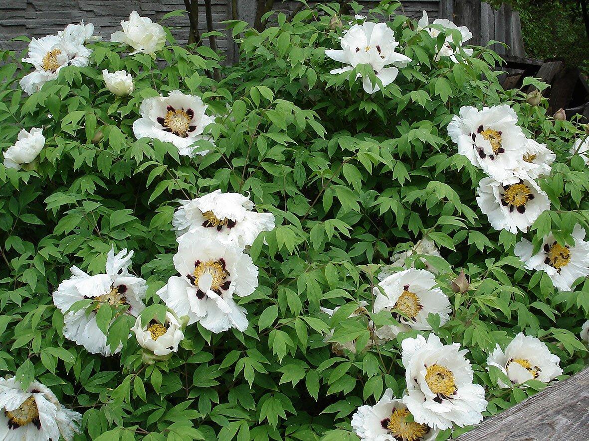 Цветы пиона