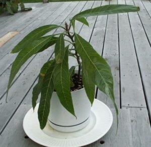Выращивание манго дома