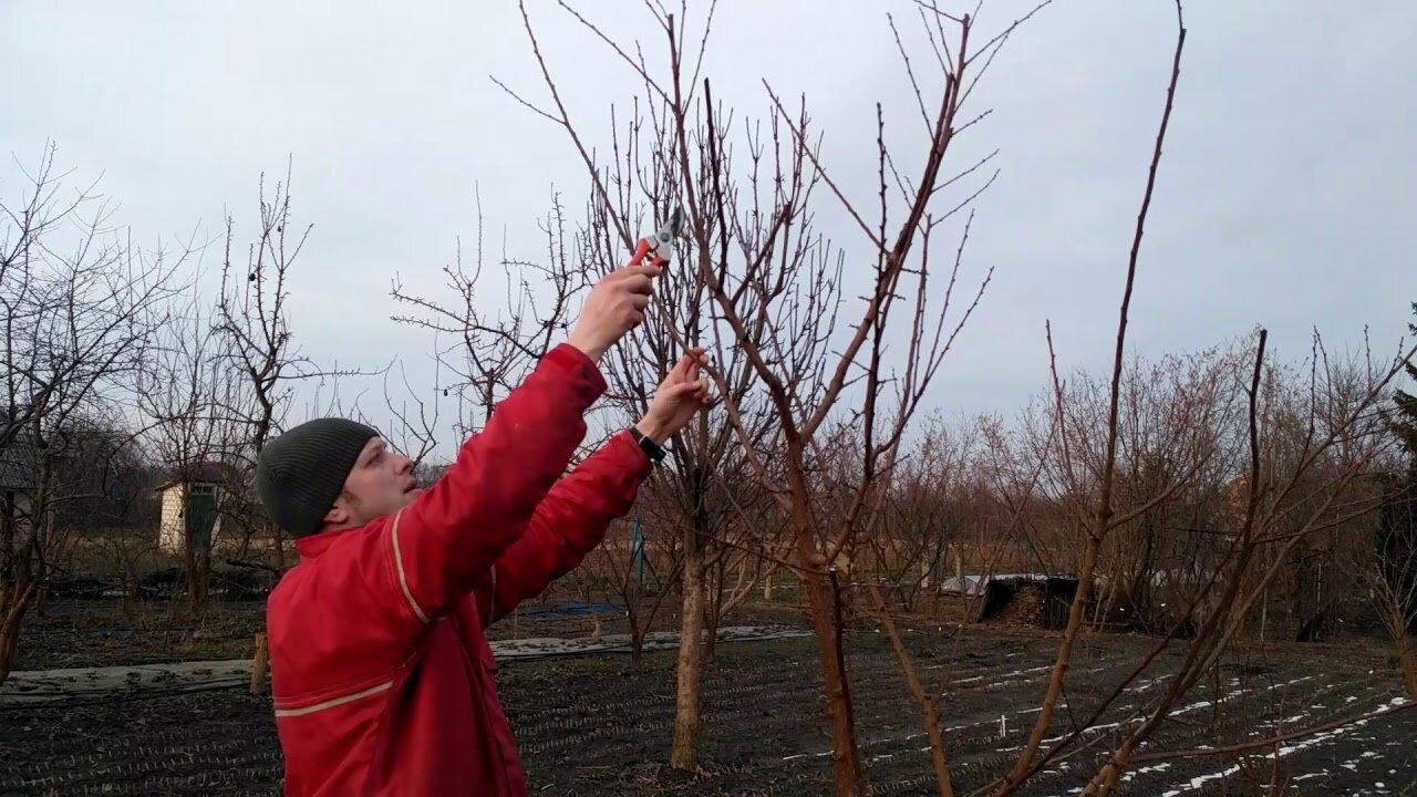 Выращивание и обрезка абрикосов