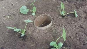 Высаживание рассады в открытый грунт