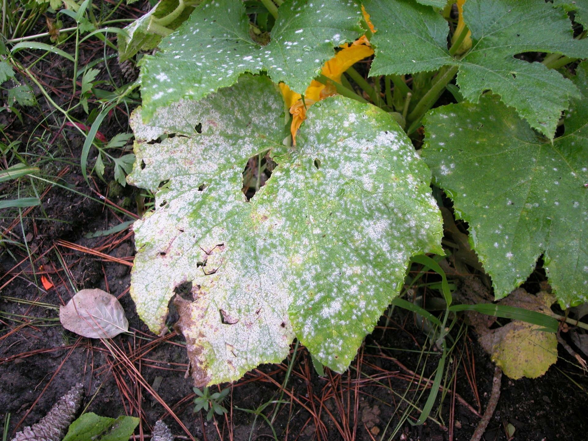 Болезни и выращивание тыквы