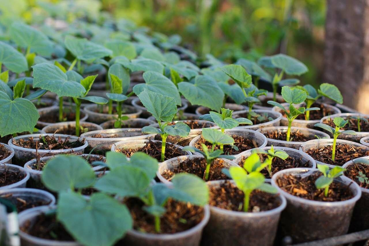 выращивание арбузов рассада