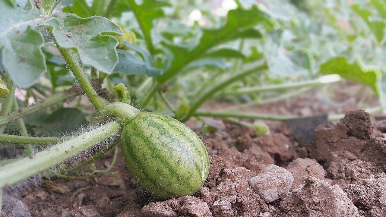 выращивание арбузов и уход за ними