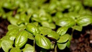 базилик выращивание