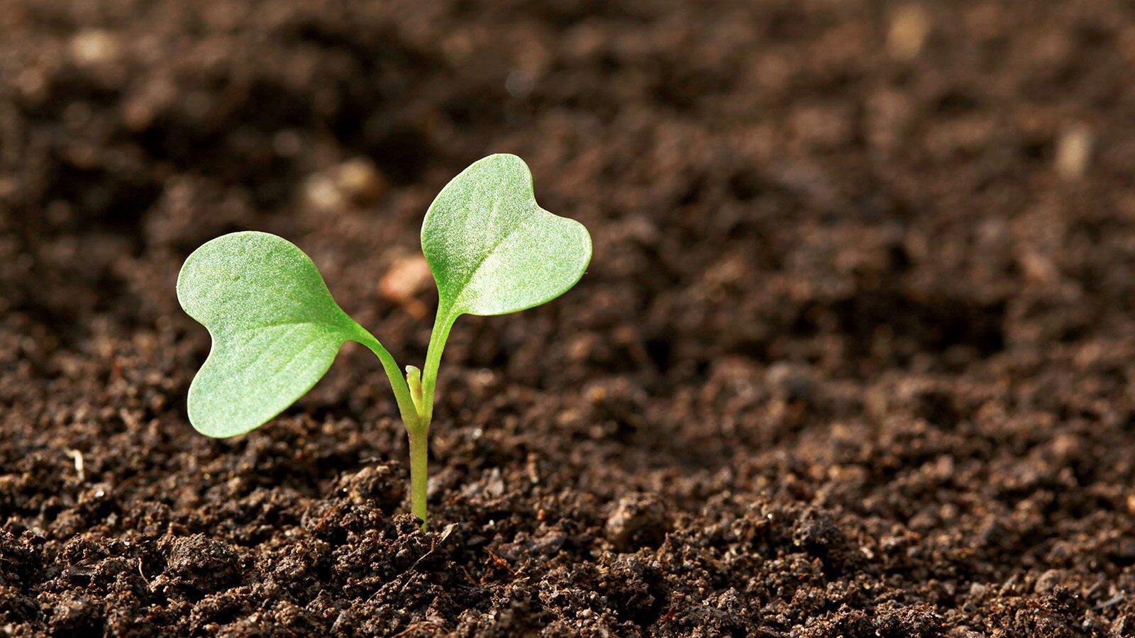 редис в почве