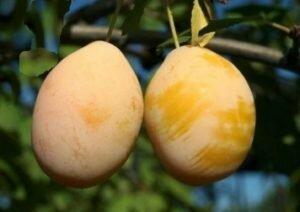 Плоды белой сливы